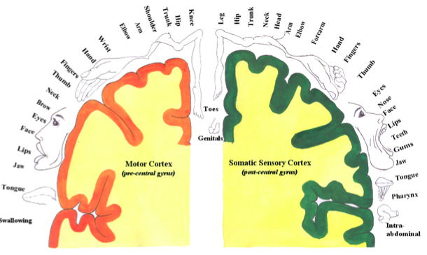 Somatosensory Map